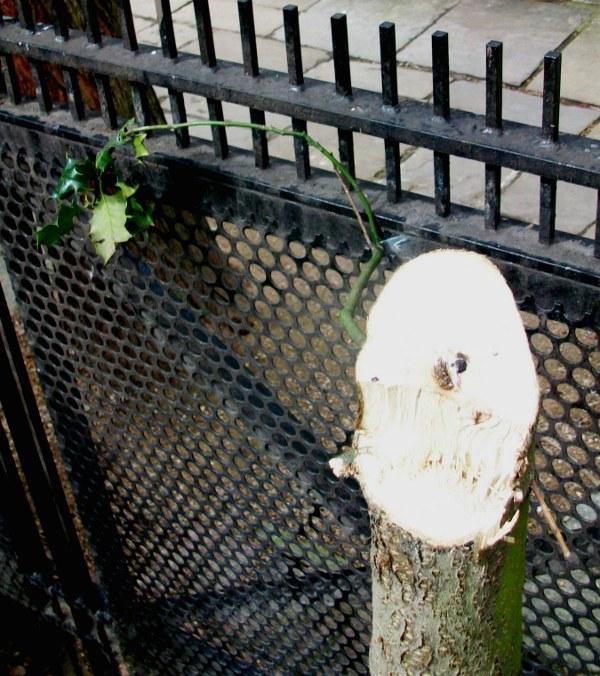Stump of holly tree.