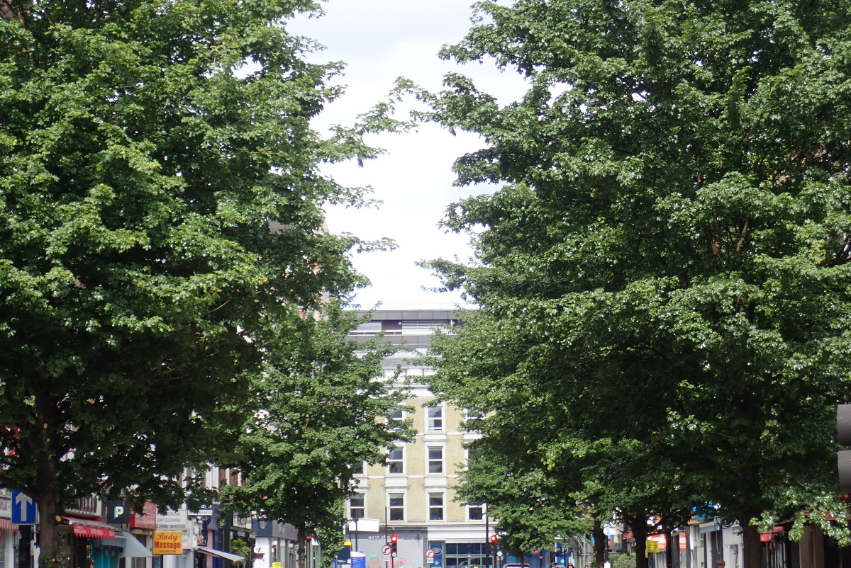 Field maple trees on street.